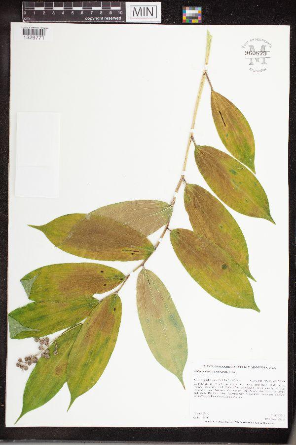 Maianthemum image