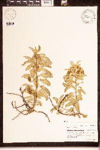 Asclepias oenotheroides image