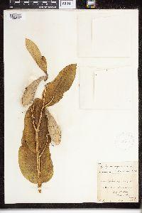 Asclepias syriaca image