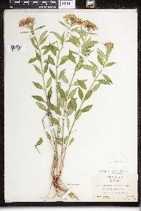 Asclepias texana image