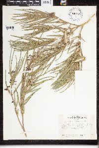 Asclepias brachystephana image