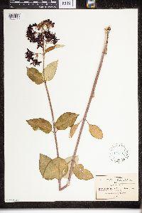 Image of Asclepias melantha