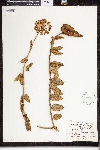 Image of Asclepias albens