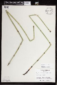 Equisetum x ferrissii image