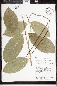 Image of Prestonia concolor