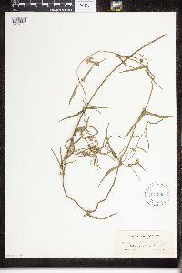 Funastrum crispum image