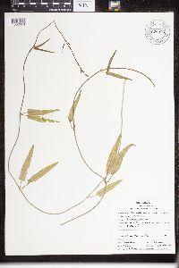 Funastrum heterophyllum image