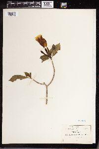 Stemmadenia tomentosa var. palmeri image