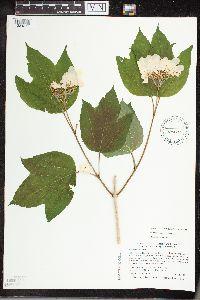 Viburnum opulus var. opulus image