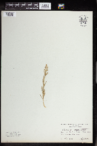 Thesium linophyllon image