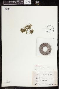 Lemna minor image