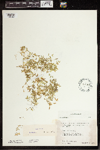 Lemna trisulca image