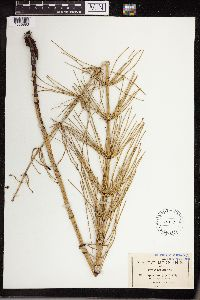 Equisetum giganteum image