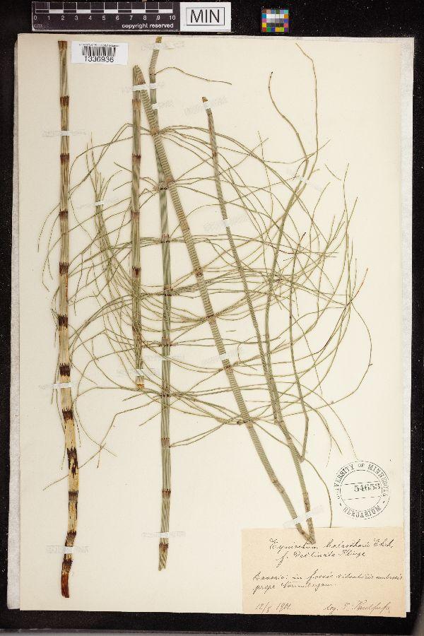 Equisetum heleocharis image