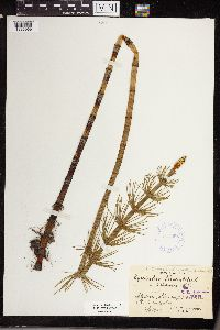 Equisetum limosum image