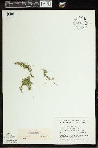 Lemna turionifera image
