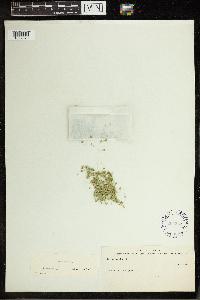 Lemna gibba image