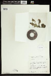Spirodela polyrrhiza image