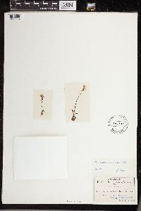 Pinguicula parvifolia image