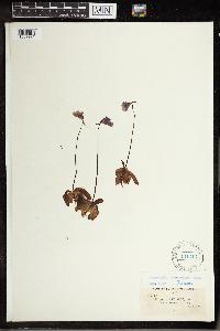 Pinguicula macroceras image