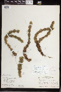 Huperzia lucidula image