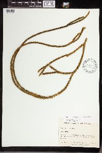 Image of Huperzia molongensis