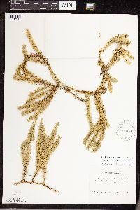 Lycopodium annotinum image
