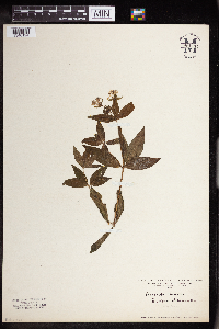 Image of Asperula taurina