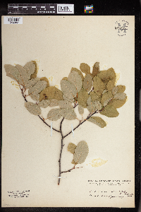 Image of Amelanchier rotundifolia