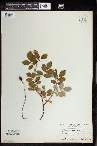 Rosa arvensis image