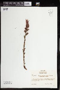 Castilleja applegatei image