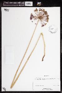Image of Allium hollandicum