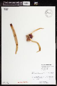 Image of Allium x proliferum