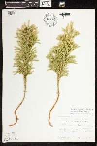 Lycopodium dendroideum image