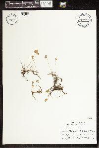 Marsilea ancylopoda image