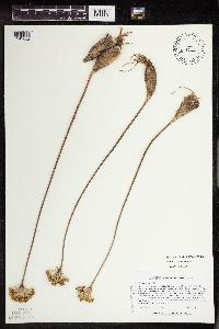 Allium tricoccum var. tricoccum image