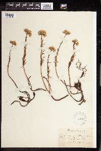 Sedum rupestre image