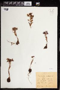 Sempervivum montanum image
