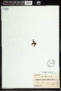 Pinguicula alpina image