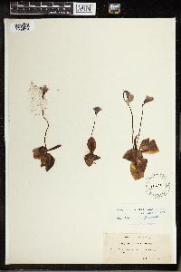 Pinguicula corsica image