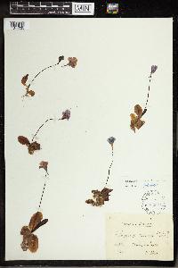 Pinguicula grandiflora image