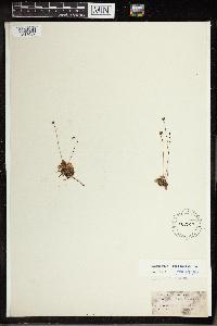 Pinguicula lusitanica image