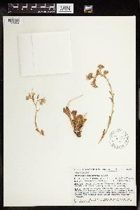 Image of Cotyledon sempervivum