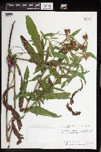 Centaurea x moncktonii image