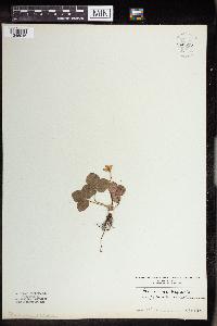 Anemone hepatica image