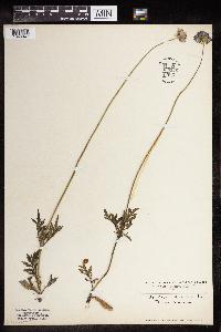 Scabiosa columbaria image