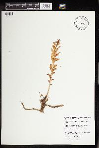 Rhodiola integrifolia image