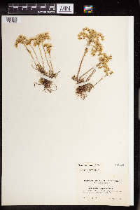 Sedum stenopetalum image