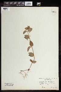 Lysimachia nemorum image