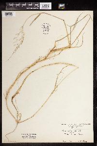 Glyceria pallida image